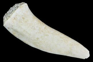 "Buy 1.9"" Fossil Fish (Enchodus) Fang - Extinct Bony Fish - #105955"