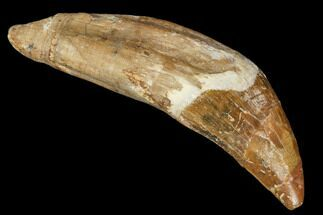 "2.3"" Primitive Whale (Basilosaur) Tooth - Dakhla, Morocco For Sale, #106319"