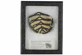 Mammuthus columbi - Fossils For Sale - #106440