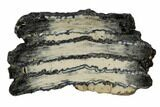 "3.2"" Mammoth Molar Slice With Case - South Carolina - #106491-1"