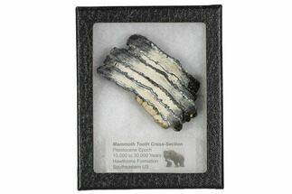 Mammuthus columbi - Fossils For Sale - #106491
