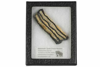 Mammuthus columbi - Fossils For Sale - #106512