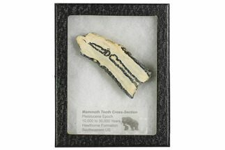 Mammuthus columbi - Fossils For Sale - #106536