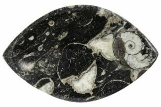 "Buy 5.3"" Wide, Fossil Goniatite Dish - Morocco - #106699"