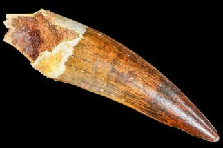 "Beautiful, 3.12"" Spinosaurus Tooth - Partial Root For Sale, #106742"