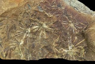 "5.1"" Annularia Fern Fossil - Mazon Creek For Sale, #106670"