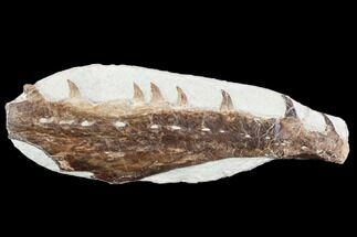 "Buy 6.8"" Fossil Mosasaur (Tethysaurus) Jaw Section  - Goulmima, Morocco - #107095"