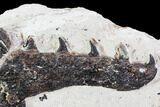 "5.9"" Partial, Disarticulated Mosasaur Skull  - Goulmima, Morocco - #107151-5"