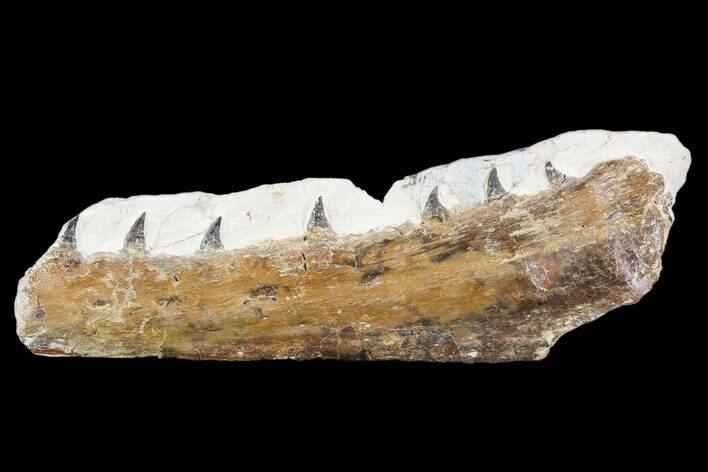 "6.3"" Fossil Mosasaur (Tethysaurus) Jaw Section  - Goulmima, Morocco"