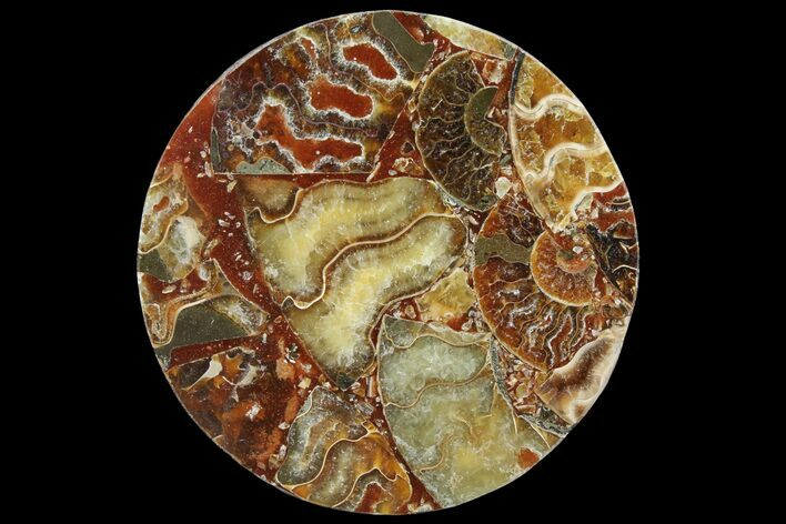 "4.5"" Composite Plate Of Agatized Ammonite Fossils"