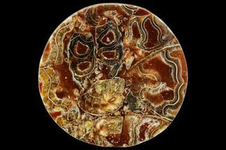 "Buy 4.2"" Composite Plate Of Agatized Ammonite Fossils - #107323"