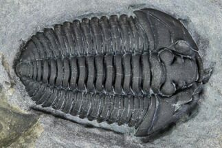 ".75"" Gravicalymene Trilobite - Lorraine Group, Quebec For Sale, #107528"