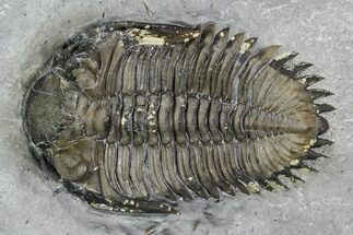 "1"" Greenops Trilobite - Hungry Hollow, Ontario For Sale, #107537"