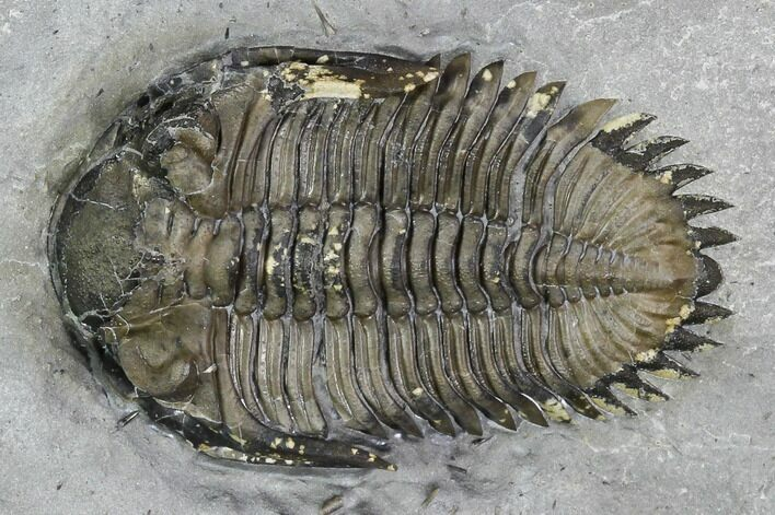 "1"" Greenops Trilobite - Hungry Hollow, Ontario"