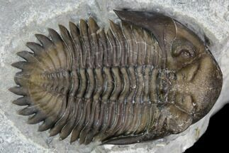 "Buy .85"" Greenops Trilobite - Hungry Hollow, Ontario - #107539"