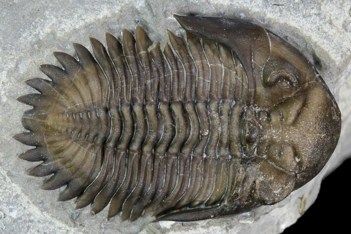 ".85"" Greenops Trilobite - Hungry Hollow, Ontario"