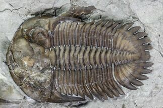 "1.04"" Greenops Trilobite - Hungry Hollow, Ontario For Sale, #107543"