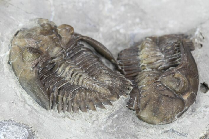 Two Greenops Trilobites - Hungry Hollow, Ontario