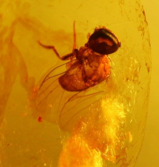 Electronic Recruitment Application Era Myanmar: Fossil Wasp (Hymenoptera) In Amber