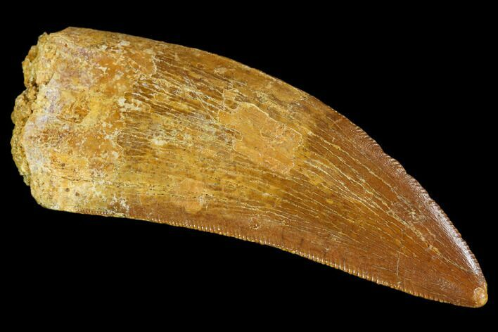 "Serrated, 2.15"" Carcharodontosaurus Tooth - Real Dinosaur Tooth"