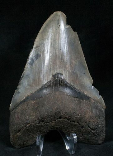 "Serrated 4.85"" Megalodon Tooth - Feeding Scars"