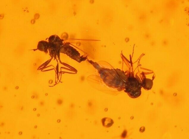 Mating Flies (Diptera) In Amber - Myanmar