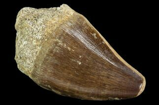"1.8"" Fossil Mosasaur (Prognathodon) Tooth - Morocco For Sale, #107735"