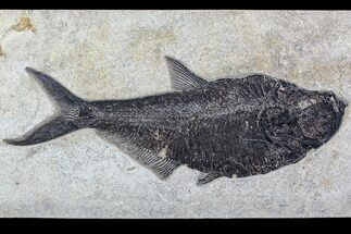 "18.0"" Fossil Fish (Diplomystus) From 18 Inch Layer - Top Quality For Sale, #107876"