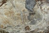 "21.5"" Thick-Cut, Petrified Wood (Araucaria) Round - Madagascar - #107975-1"