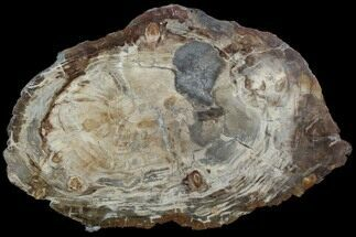 "21.5"" Thick-Cut, Petrified Wood (Araucaria) Round - Madagascar For Sale, #107975"