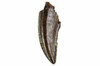 "Buy .42"" Small Theropod (Raptor) Tooth - Judith River Formation, Montana - #108100"