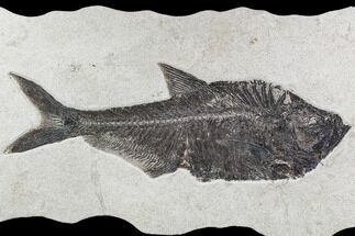 "17.5"" Fossil Fish (Diplomystus) From 18 Inch Layer - Wyoming For Sale, #108158"