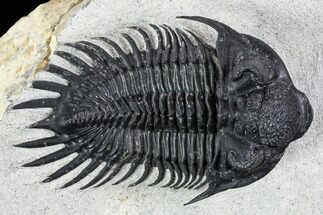 "Buy 2.1"" Spiny Saharops Trilobite - Excellent Shell Quality - #108259"