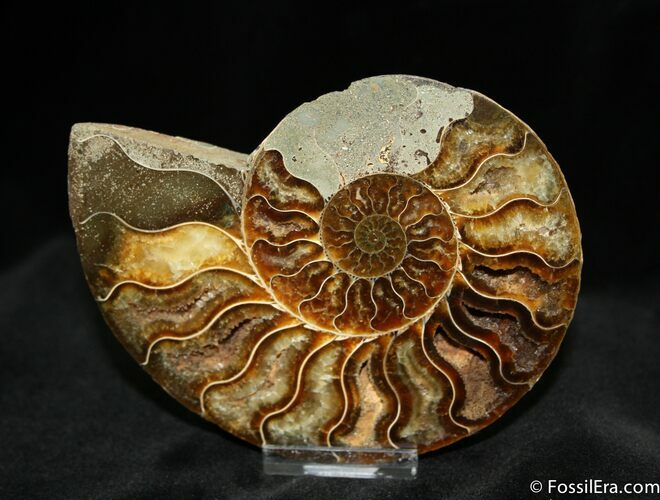 4.9 Inch Polished Madagascar Ammonite (Half)