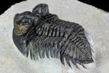 "1.95"" Coltraneia Trilobite Fossil - Huge Faceted Eyes - #108428-3"