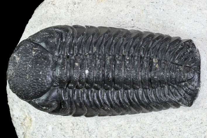 "2.05"" Detailed Austerops Trilobite - Nice Eye Facets"