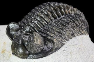 "Buy 2.1"" Coltraneia Trilobite Fossil - Huge Faceted Eyes - #108490"