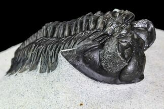 "1.55"" Coltraneia Trilobite Fossil - Huge Faceted Eyes For Sale, #108491"