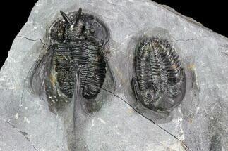 Cyphaspis walteri & Metacanthina? - Fossils For Sale - #108696