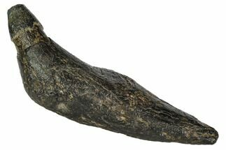 "Buy 4.9"" Fossil Sperm Whale (Scaldicetus) Tooth - #108751"