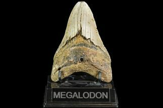 "4.59"" Fossil Megalodon Tooth - North Carolina For Sale, #108974"