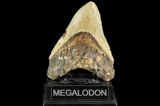 "4.91"" Fossil Megalodon Tooth - North Carolina For Sale, #108956"