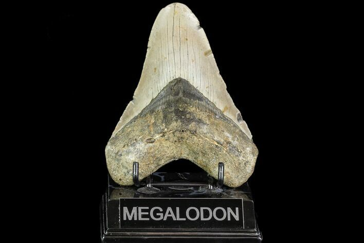 "4.87"" Fossil Megalodon Tooth - North Carolina"