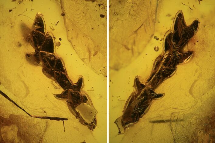 Detailed Fossil Conifer Twig (Pinales) In Baltic Amber