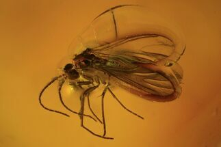 Fossil Fly (Diptera) In Baltic Amber For Sale, #109475