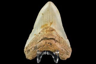 "Buy 4.06"" Fossil Megalodon Tooth - North Carolina - #109834"