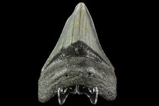 "Buy 3.95"" Fossil Megalodon Tooth - North Carolina - #109870"