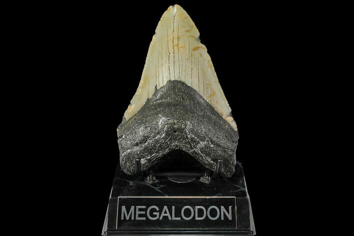"4.89"" Fossil Megalodon Tooth - North Carolina"