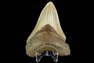 "Buy 3.48"" Fossil Megalodon Tooth - North Carolina - #109885"
