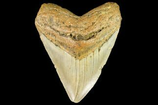 "Buy 4.53"" Fossil Megalodon Tooth - North Carolina - #109804"